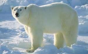 Polar Bearjpg